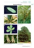 Biologie_neu, Sekundarstufe I, Pflanzen, Samenpflanzen, Bedeutung der Samenpflanzen für den Menschen und die Natur, Fortpflanzung, Blüte, Kastanie, Baum, Rinde, Samen, stachelig, Blattstellung